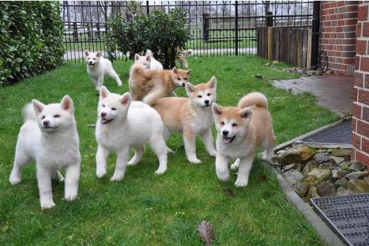Cuccioli Di Akita In Regalo.Bellissimi Cuccioli Di Akita Inu Regalo Bellissimi Cuccioli