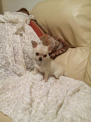 Chihuahua stupendi cuccioli vendo for Vendo chihuahua barcelona