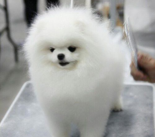 Regalo Cuccioli Di Pomerania Mini Toy