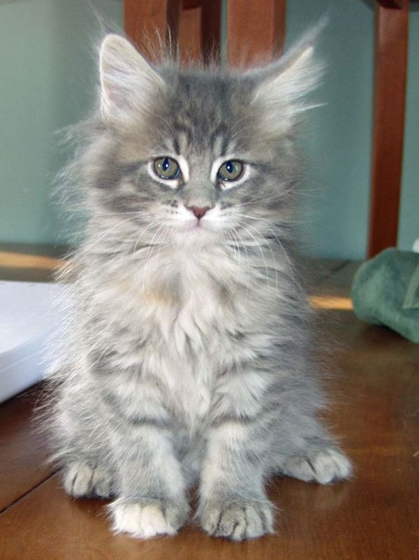 REGALO gattini Maine Coon