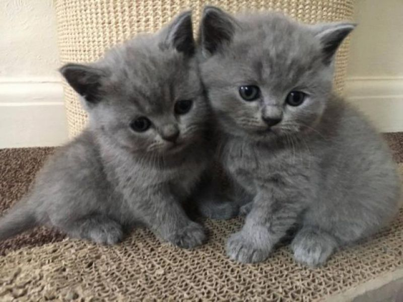 British shorthair (femmina)