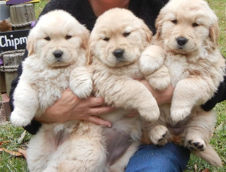 Regalo Cuccioli di Golden retriver