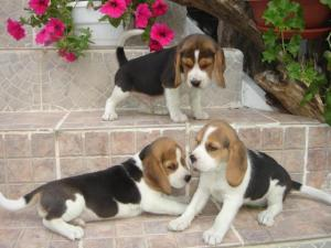 REGALO Cuccioli di Beagle disponibili.......................................................